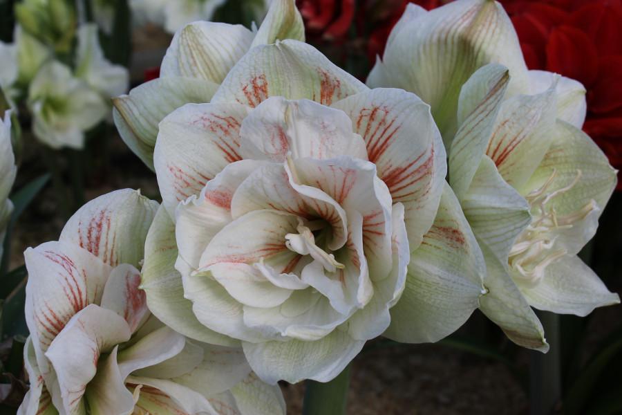 Amaryllis Double Nymph, Zwiebelumfang 28/30 cm
