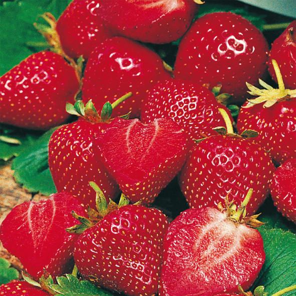 Ganz und zu Extrem Erdbeere 'Siskeep®' (immertragend) - Mauserplant (Pflanzen @IL_41