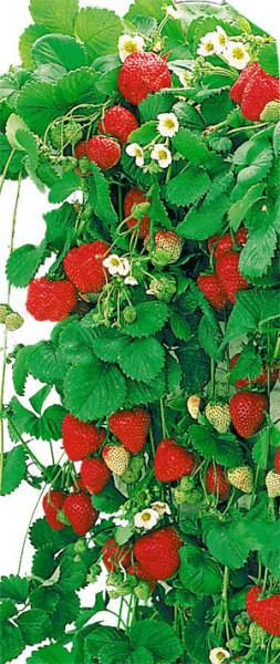 Atemberaubend Hängeerdbeere (immertragend) - Mauserplant (Pflanzen) / Beeren &JR_85