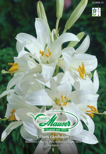 Madonnen-Lilie, Lilium candidum, 1 Zwiebel