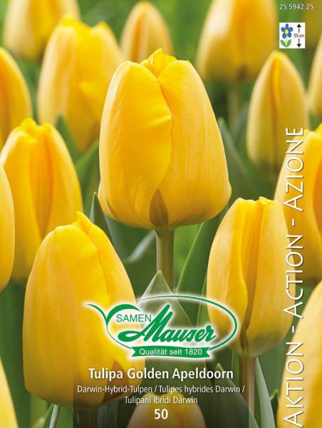 Golden Apeldoorn, Darwin-Hybrid-Tulpe, 50 Zwiebeln