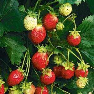 Dr. Bauer's® Erdbeerwiese 'Florika'