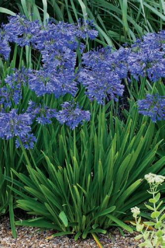 Agapanthus blau