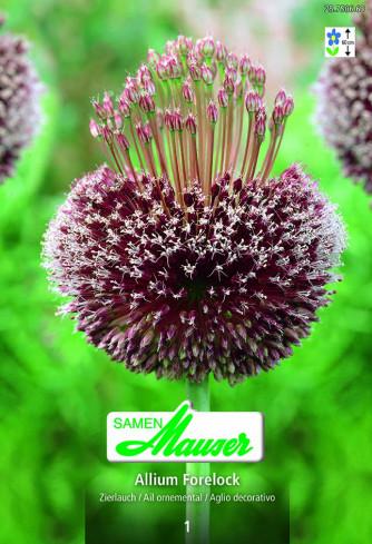 Allium Forelock, Zierlauch, 1 Zwiebel