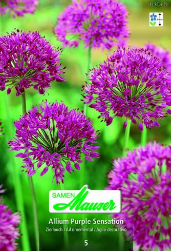 Allium aflatunense, Purple Sensation, 5 Zwiebeln