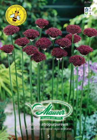 Allium atropurpureum, 5 Zwiebeln