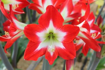 Amaryllis Très Chic, Hippeastrum à petites fleurs, 1 pièce