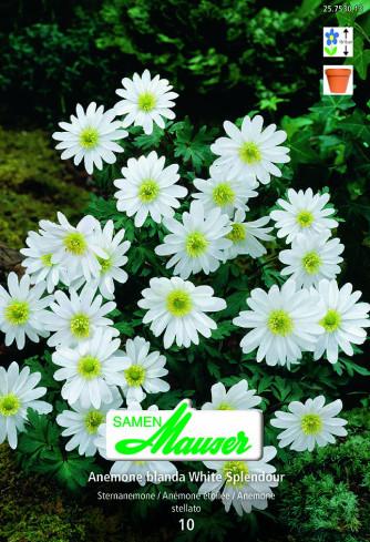White Splendour, Anemone blanda, 10 Knollen