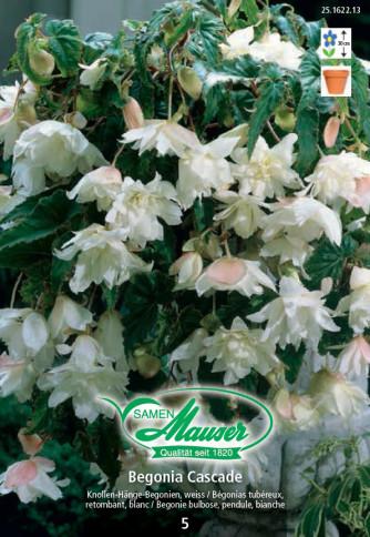 Begonia Cascade, Hängebegonien weiss