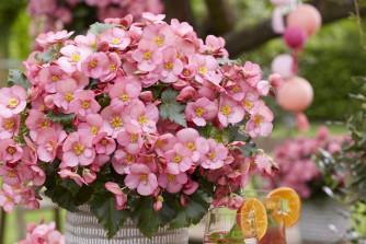 Begonia Dream Garden Macarose