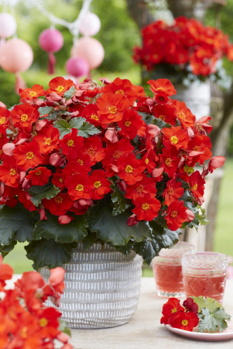 Begonia Dream Garden Macarouge