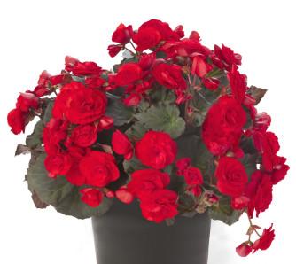 Begonia Solenia Red