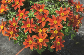 Bidens Fire Wheel