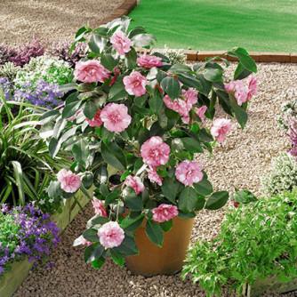 Camellia japonica rosa