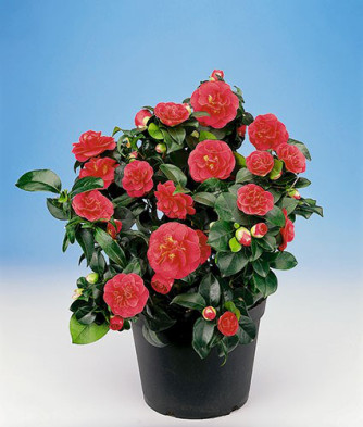 Camellia japonica rot
