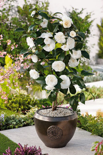 Camellia japonica weiss