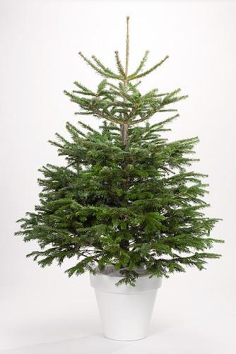 Christbaum im Netz, geschlagen 125/150 cm