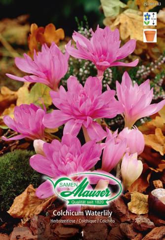 Cholchicum Waterlily, Herbstzeitlose, 1 Zwiebel