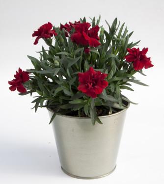 Dianthus Oscar Dark Red