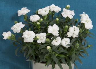 Dianthus Oscar White