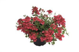 Diascia Red