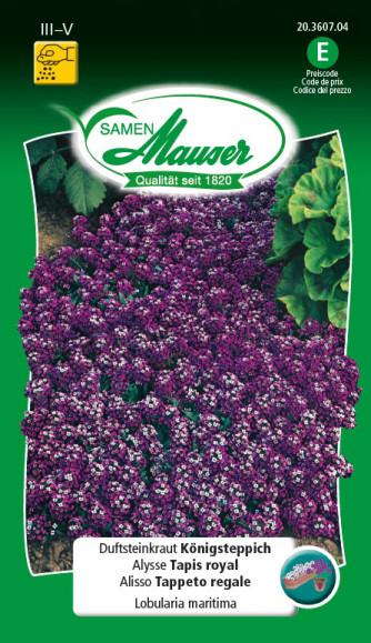 Duftsteinrich Köngisteppich violett