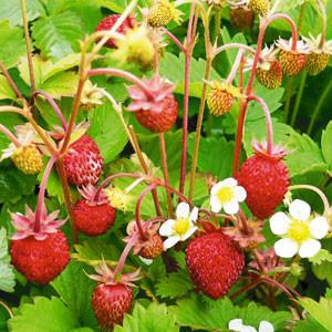 Erdbeere 'Alexandria' (immertragend)