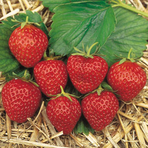 Erdbeere 'Mara de Bois' (immertragend)