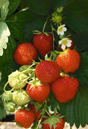 Erdbeere 'Diamant' (immertragend)