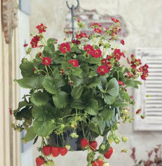 Erdbeere 'Ruby Ann®' – Bunte Erdbeervielfalt