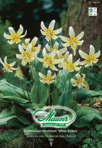 Erythronium revolutum White Beauty, Hundzahn-Lilie, 3 Zwiebeln