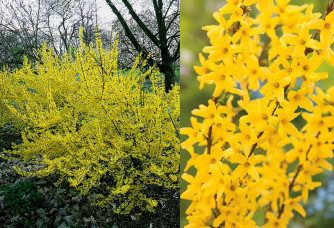 Forsythia intermedia 'Week End'