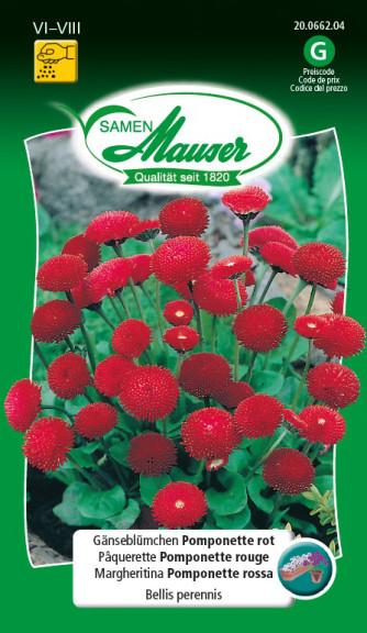 Gänseblümchen Pomponette Rot