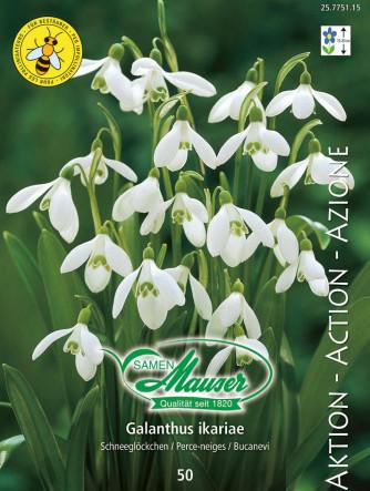 Galanthus ikariae, einfach, 50 Knollen