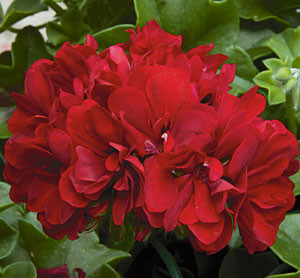 Geranie 'Royal' Red
