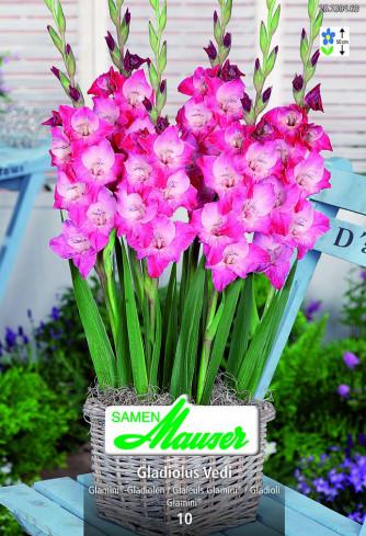 Gladiolus Glamini® Vedi
