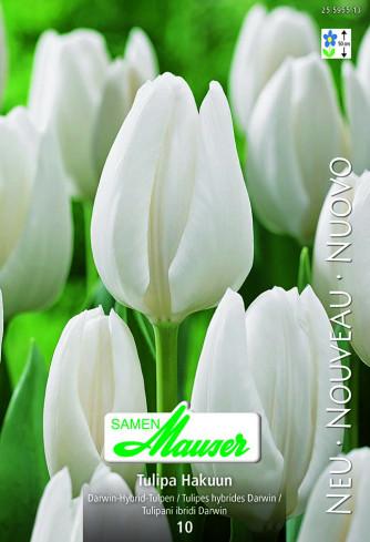 Hakuun, Darwin-Hybrid-Tulpe, 10 Zwiebeln