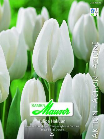 Hakuun, Darwin-Hybrid-Tulpe, 25 Zwiebeln