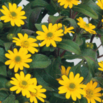 Husarenknopf 'Superbini' – Sanvitalia procumbens