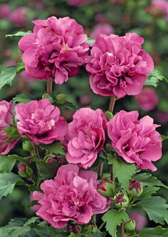Hibiscus syriacus rosa