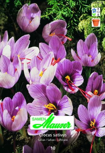 Crocus sativus Safran, 10 Knollen