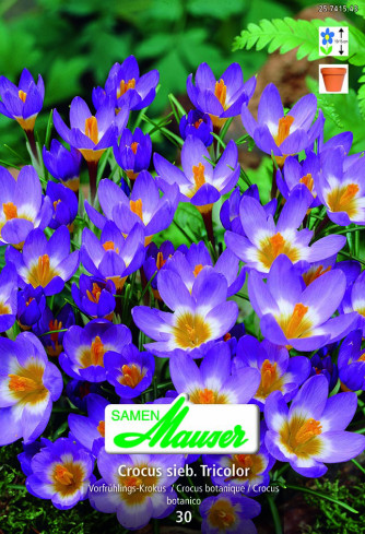 Krokus Sieberi Tricolor, 30 Knollen