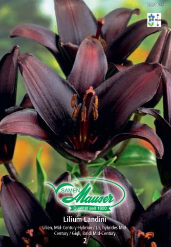 Lilie Landini, Lilium Mid-Century-Hybriden, 2 Zwiebeln