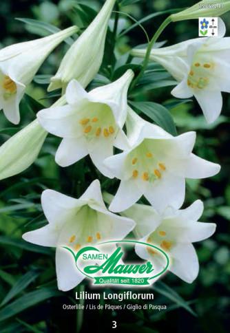 Osterlilie, Lilium longiflorum Hybriden, 3 Zwiebeln