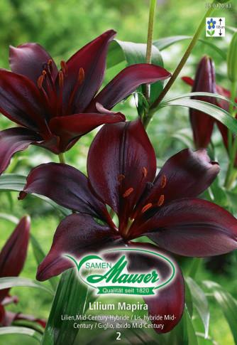 Lilien Mapira, Lilium Mid-Century-Hybriden, 2 Zwiebeln