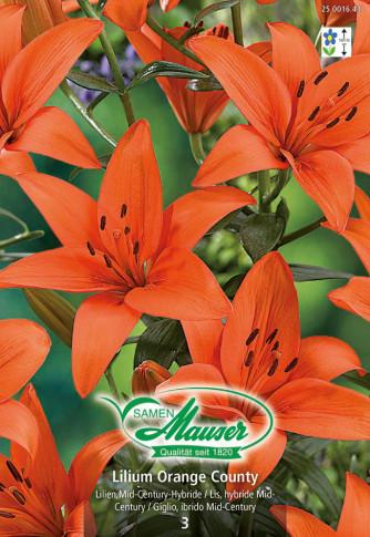 Lilien Avignon, Lilium Mid-Century-Hybriden, 3 Zwiebeln