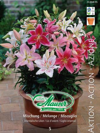 Lilien Oriental Mischung, Lilium auratum Hybriden, 5 Zwiebeln