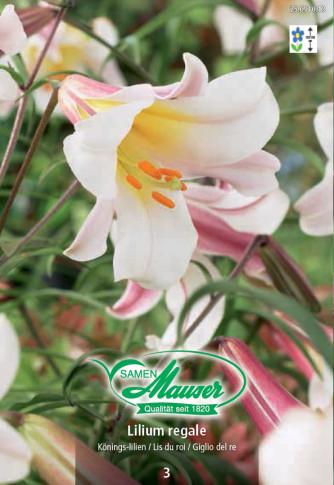 Königslilie, Lilium regale, 3 Zwiebeln