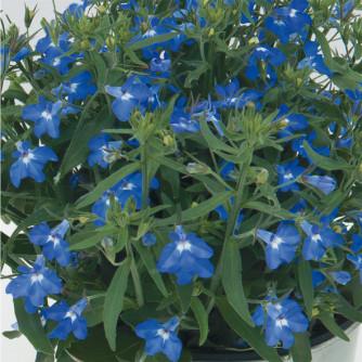 Männertreu 'Curaçao Compact Blue' – Lobelia erinus