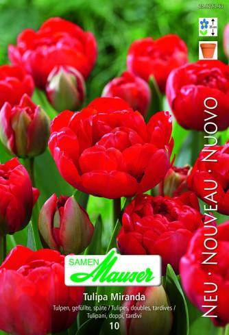 Miranda, Späte, gefüllte Tulpe, 10 Zwiebeln